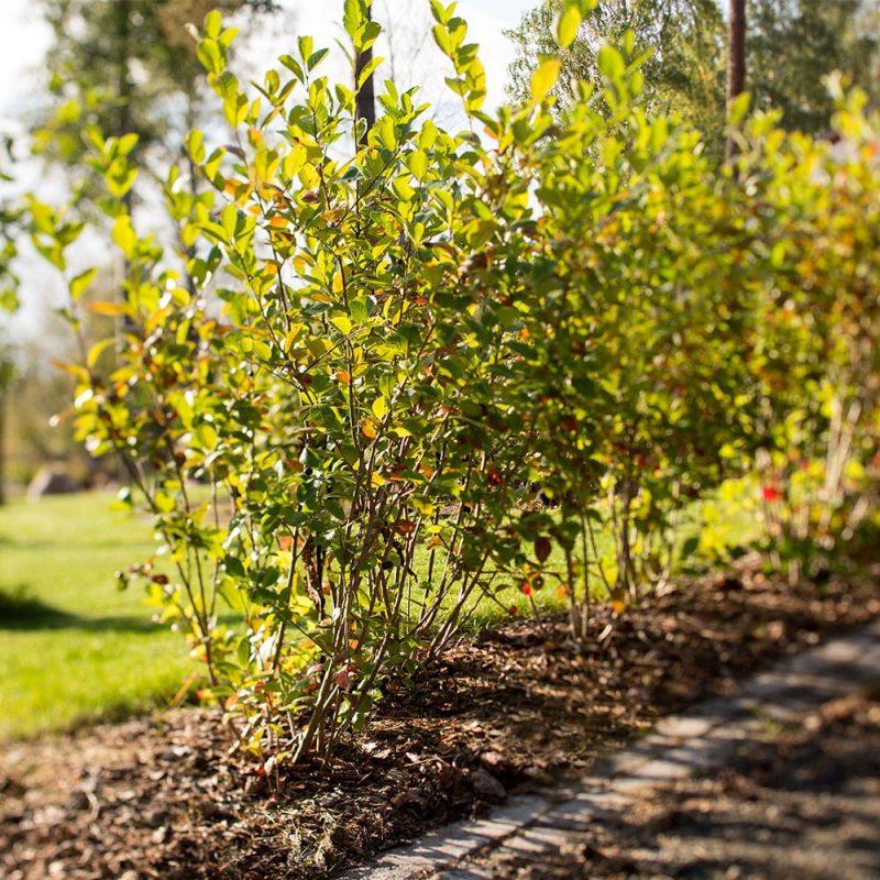 Kekkilä Erikoismulta puiden ja pensaiden istutukseen luo ihanteelliset olosuhteet pensaiden juurtumiselle