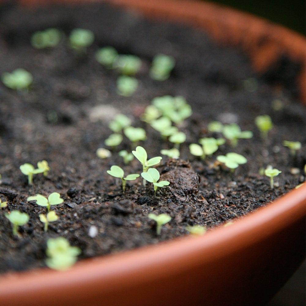 Kekkilä Kylvömulta on ihanteellinen kasvualusta pienille hentojuurisille taimille