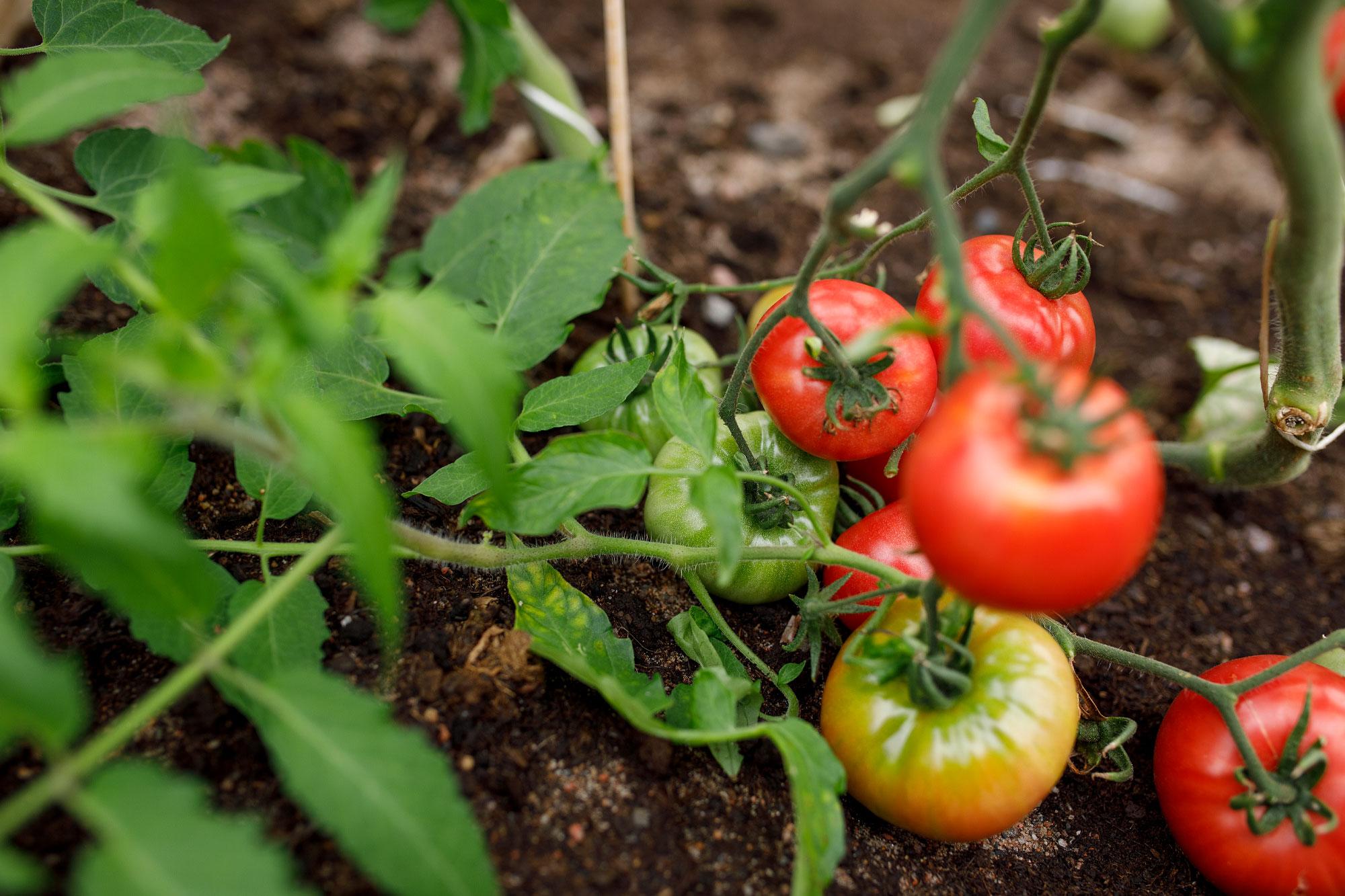 kekkilä tomaattimulta