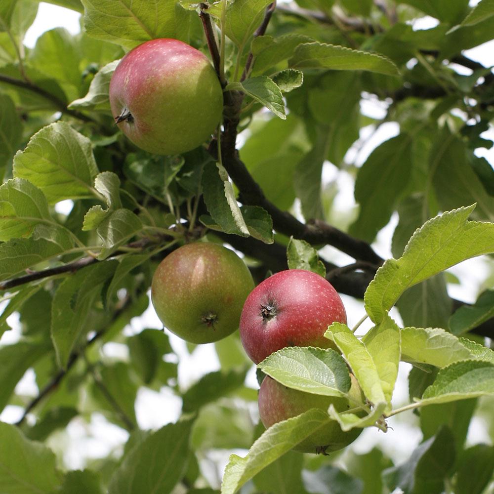 Kekkilä Marjalannoite sopii hedelmäpuille