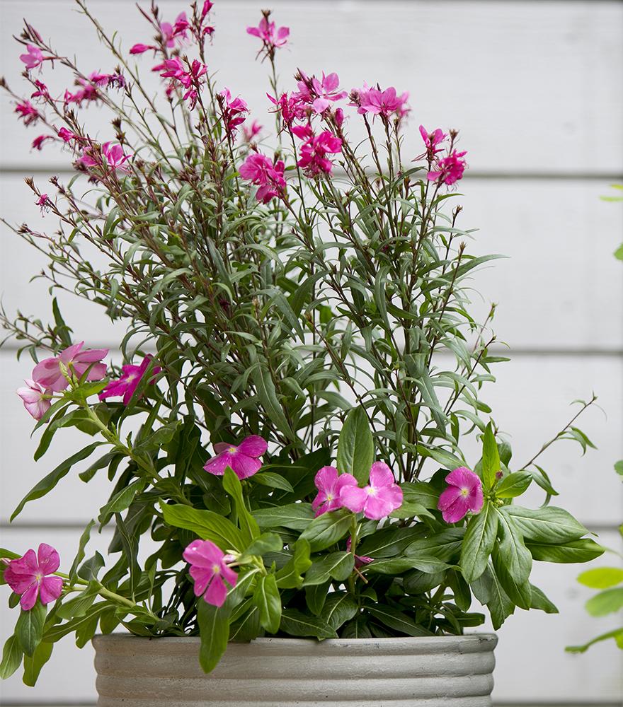 Kesätalvio Catharanthus (Vinca) roseus Kekkilä