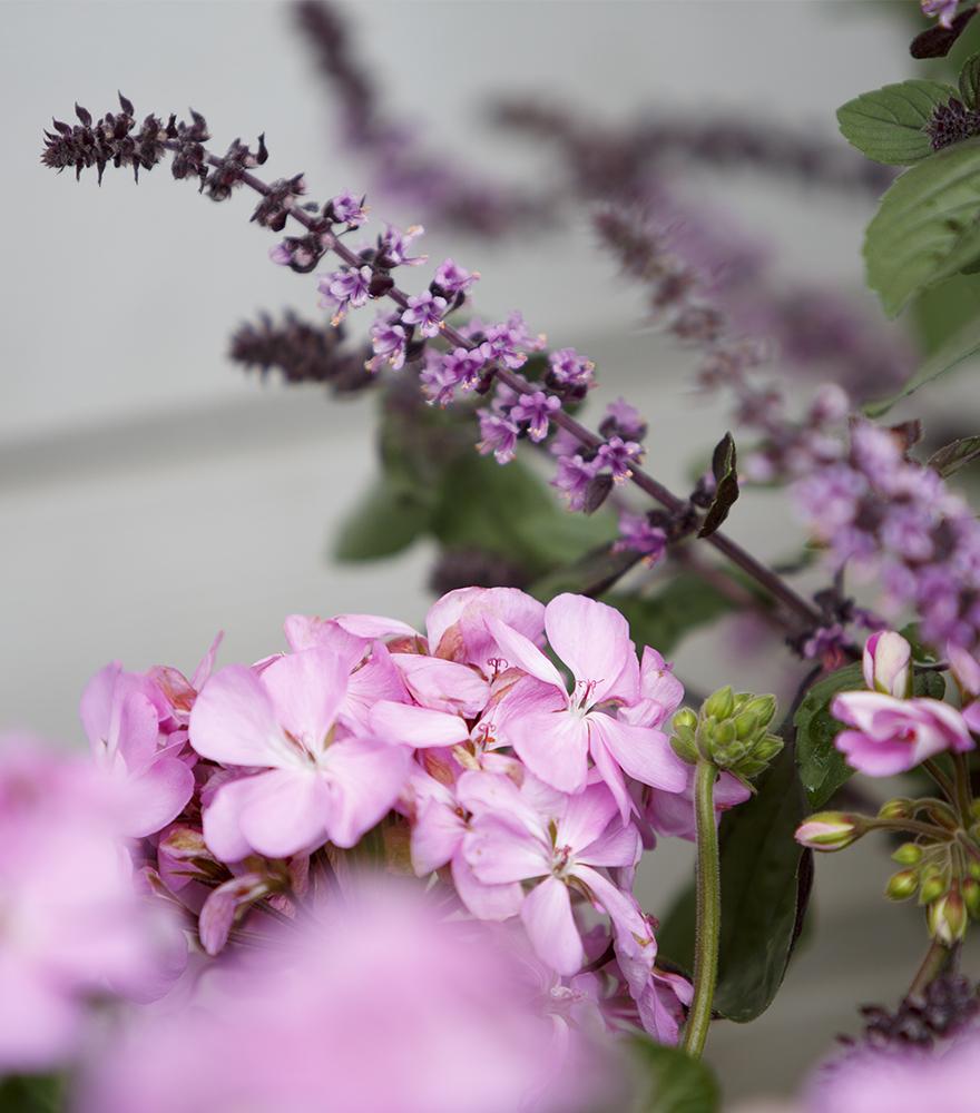 näyttävä lila pelargonia
