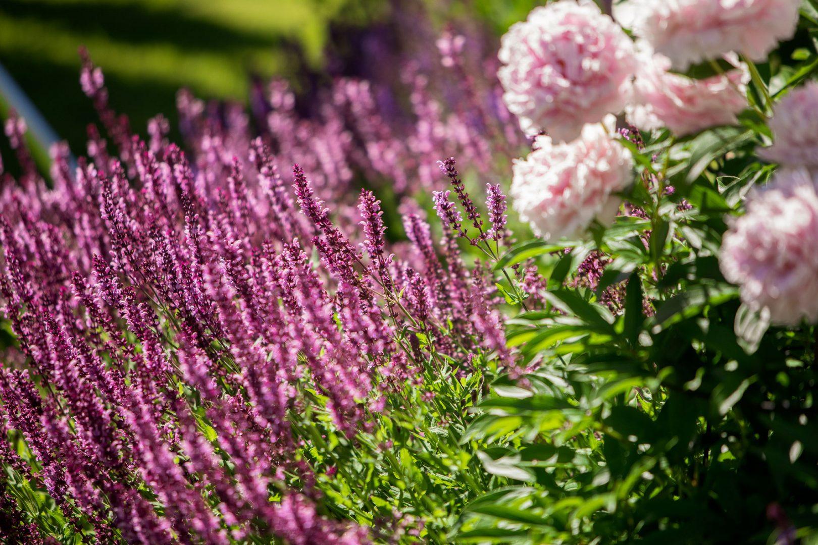 Kekkilä perenna- ja ruusumulta perennoiden lannoittaminenKekkilä perenna- ja ruusumulta perennoiden lannoittaminen