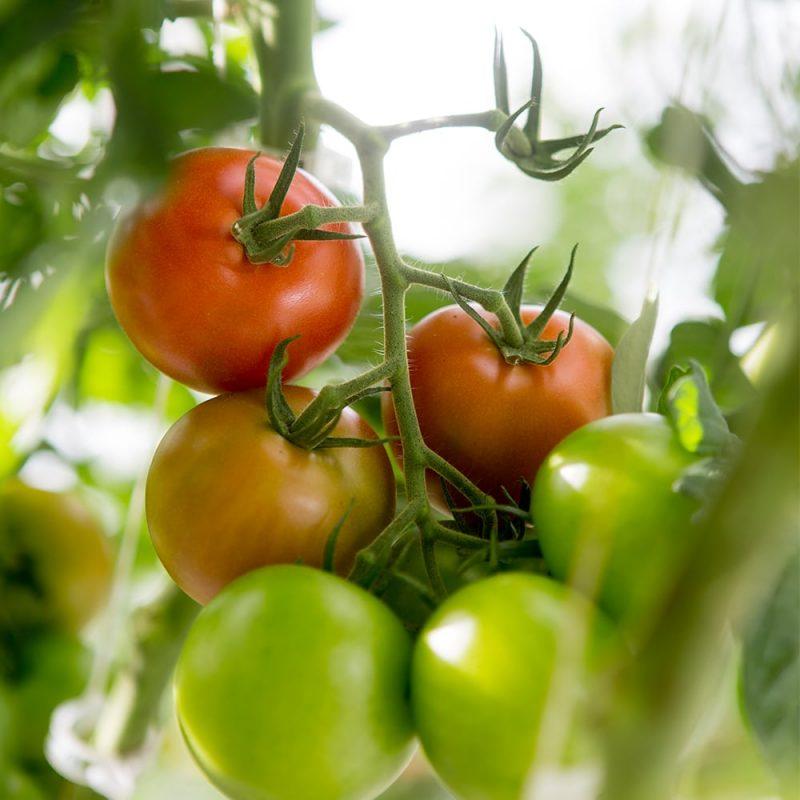 Kekkilä Luonnonmukainen tomaattilannoite