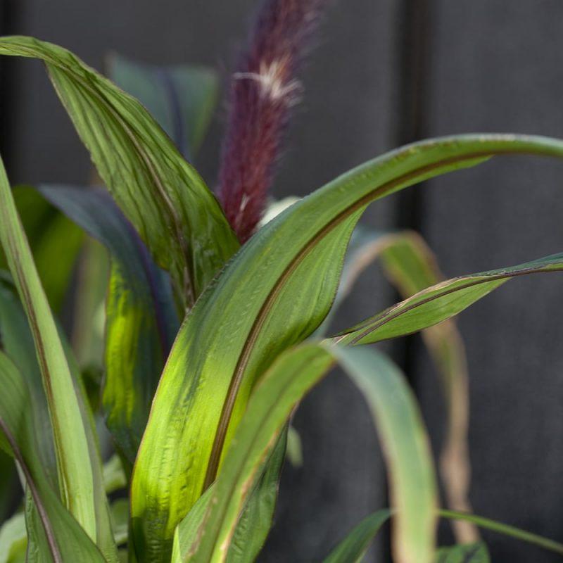 Amerikansulkahirssi Pennisetum glaucum lehti