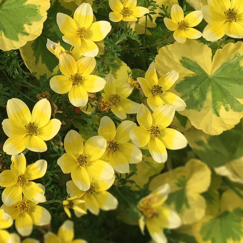 Amppelirusokki Bidens ferulifolia