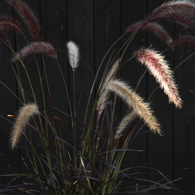 Arabiansulkahirssi Pennisetum setaceum