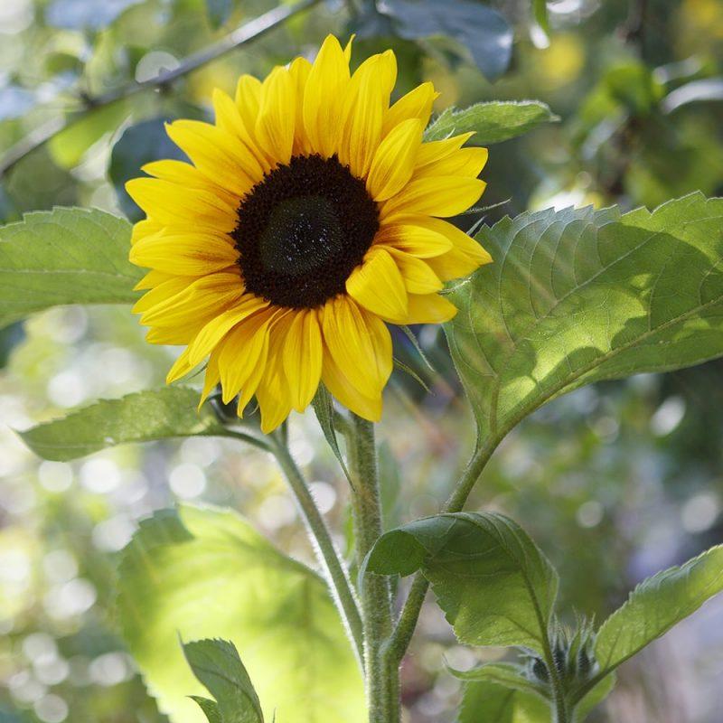 Auringonkukka Helianthus annuus