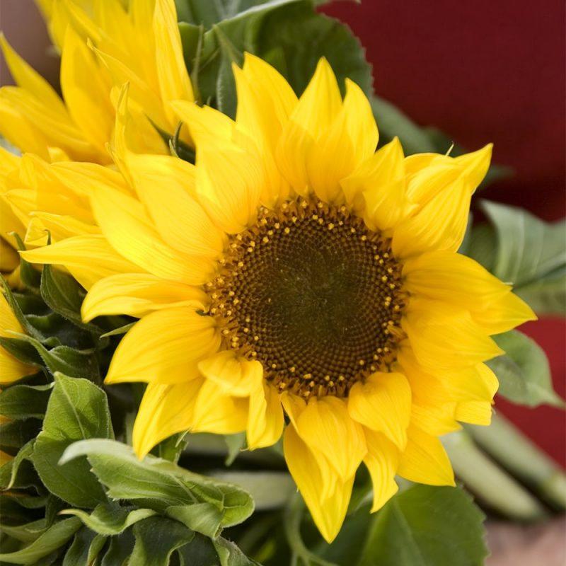 Auringonkukan Helianthus annuus keltainen kukka