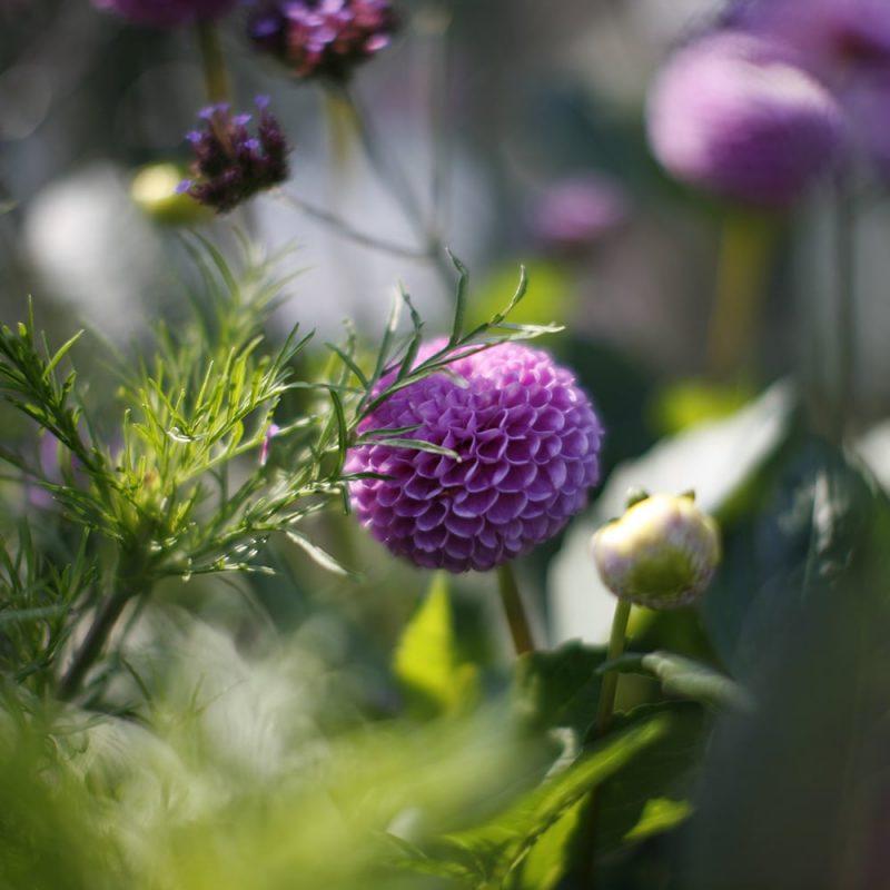 Daalia Dahlia hortensis, ponpondaalia