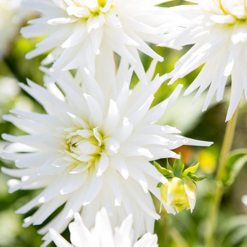 Daalia Dahlia hortensis, tarhadaalia