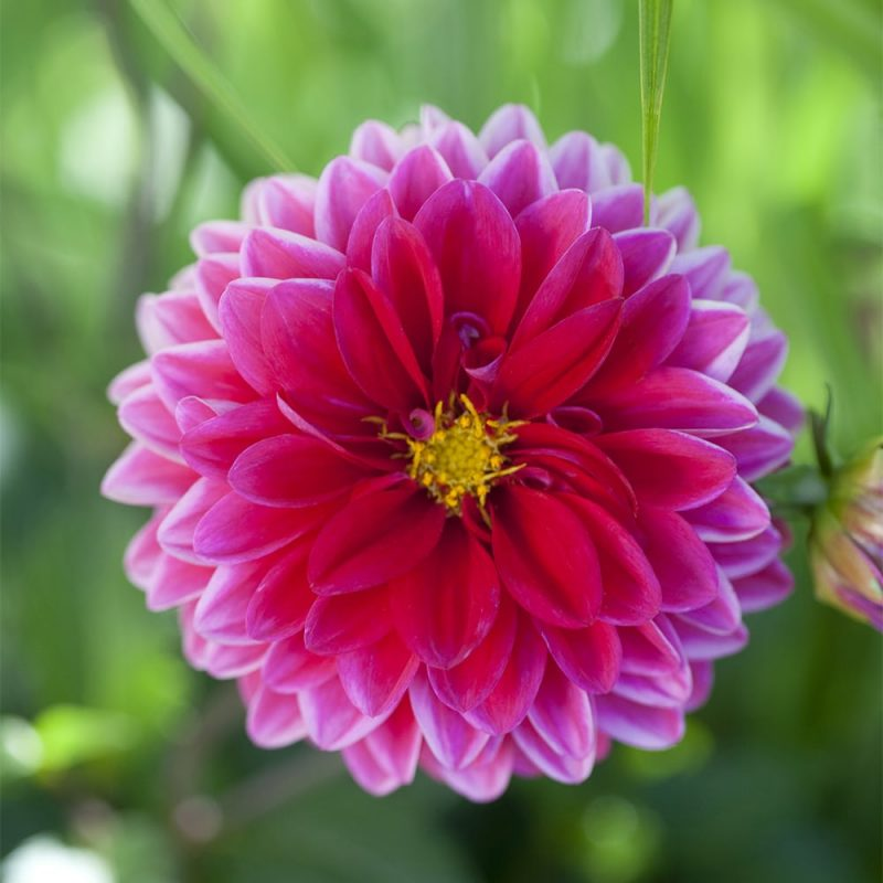 Daalia Dahlia hortensis, tarhadaalia pinkki