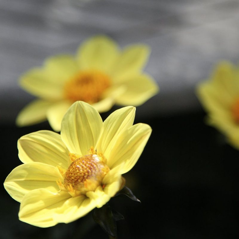 Daalia Dahlia hortensis, anemonedaalia
