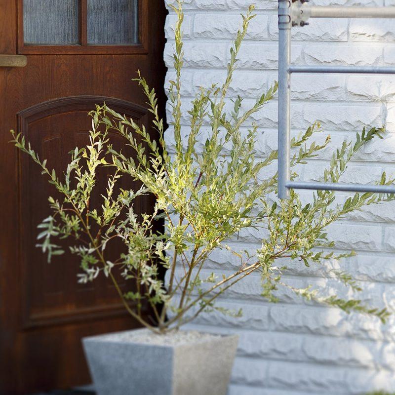Hakuropaju Salix integra 'Hakuro Nishiki'