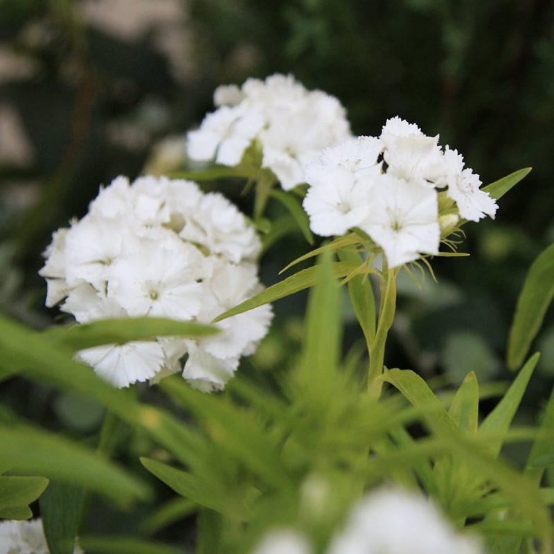 Harjaneilikka Dianthus barbatus, valkoinen