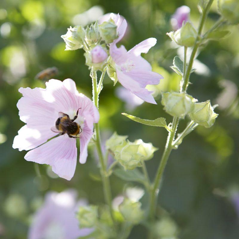 Harmaamalvikki Lavatera thuringiaca kukka