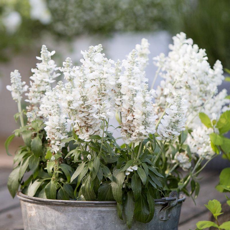 Härmesalvia Salvia farinacea valkoinen kukka