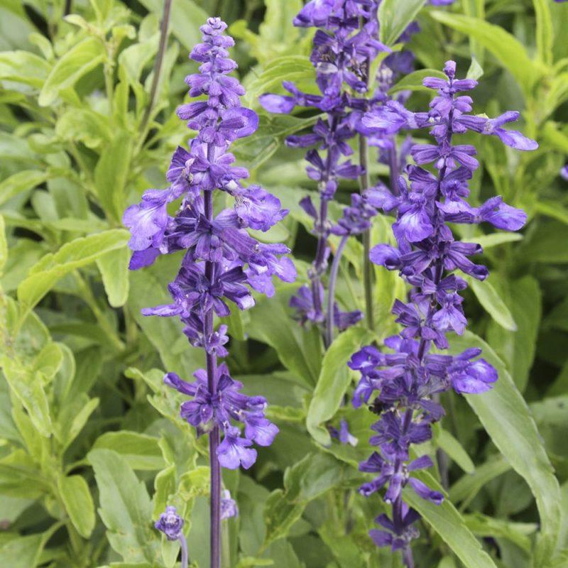 Härmesalvia Salvia farinacea kukka