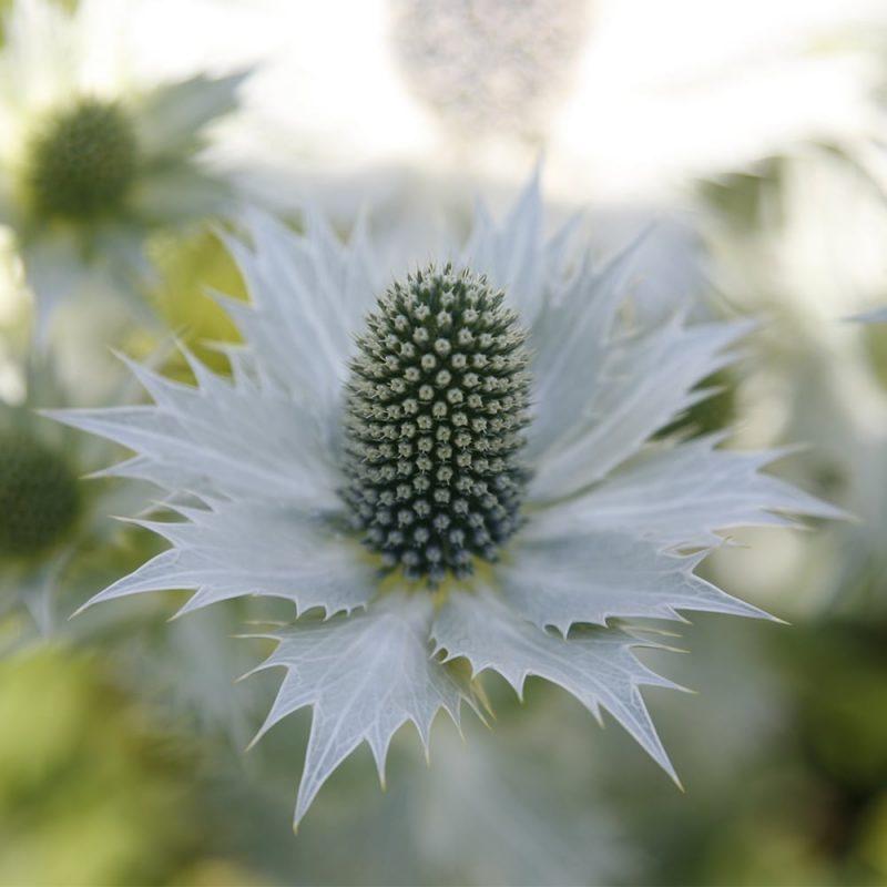 Hohtopiikkiputki Eryngium giganteum