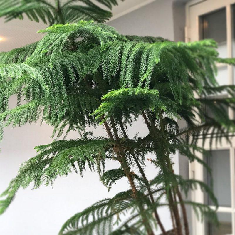 Huonekuusi Araucaria heterophylla Kekkilä