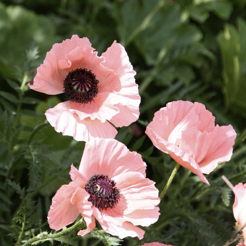 Idänunikko Papaver Orientale, vaaleanpunainen