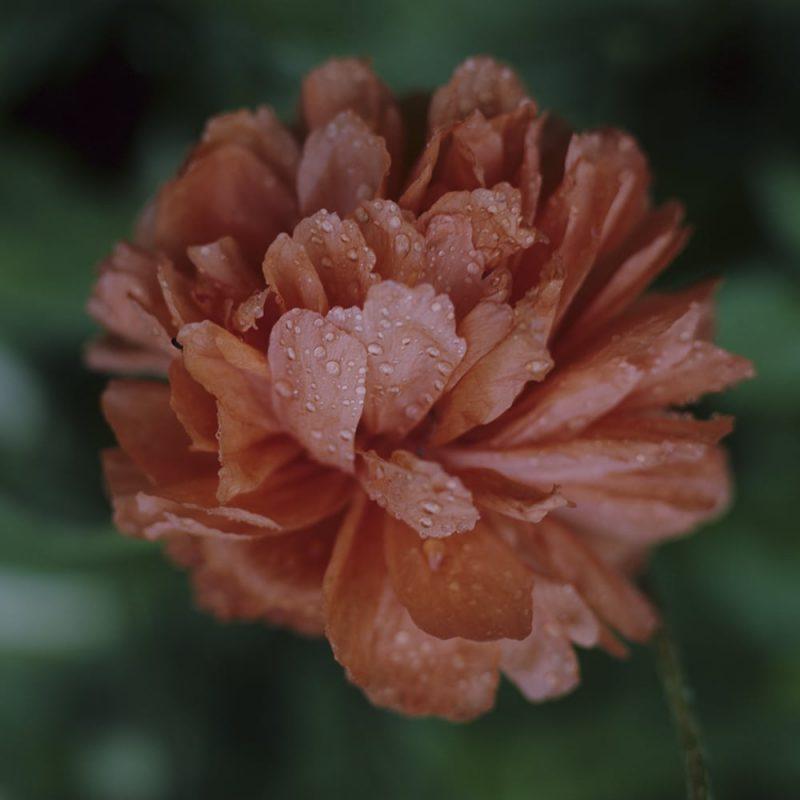 Idänunikko Papaver Orientale-ryhmä, oranssi