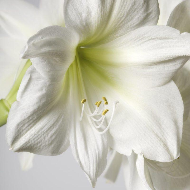 Jaloritarinkukka, amaryllis Hippeastrum sp. valkoinen kukka