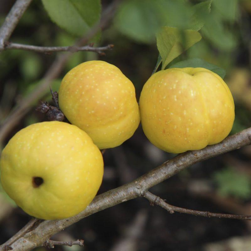 Japaninruusukvittenin Chaenomeles japonica hedelmä
