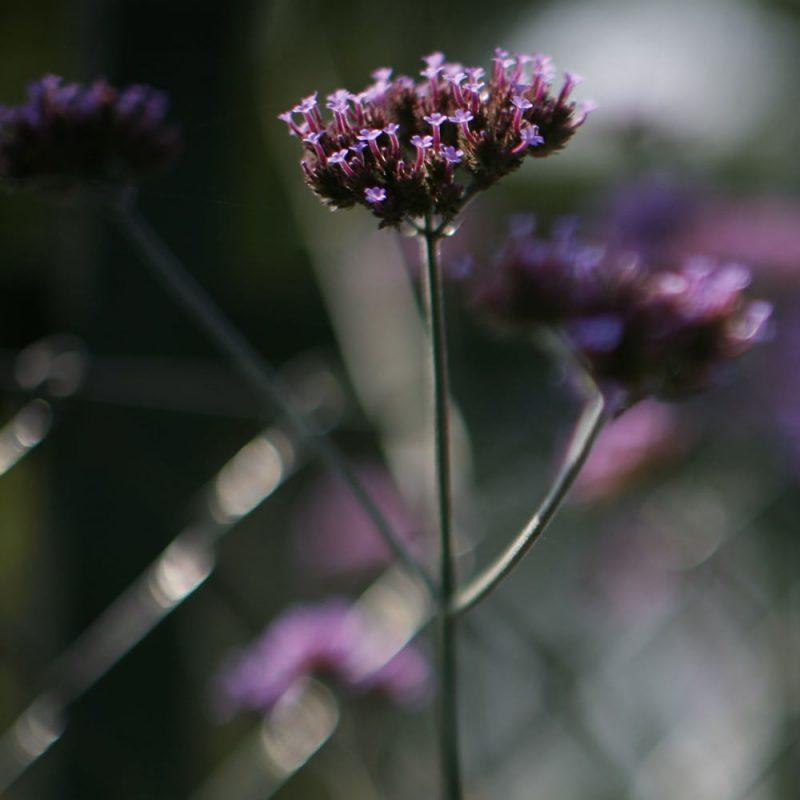 Jättiverbena Verbena bonariensis