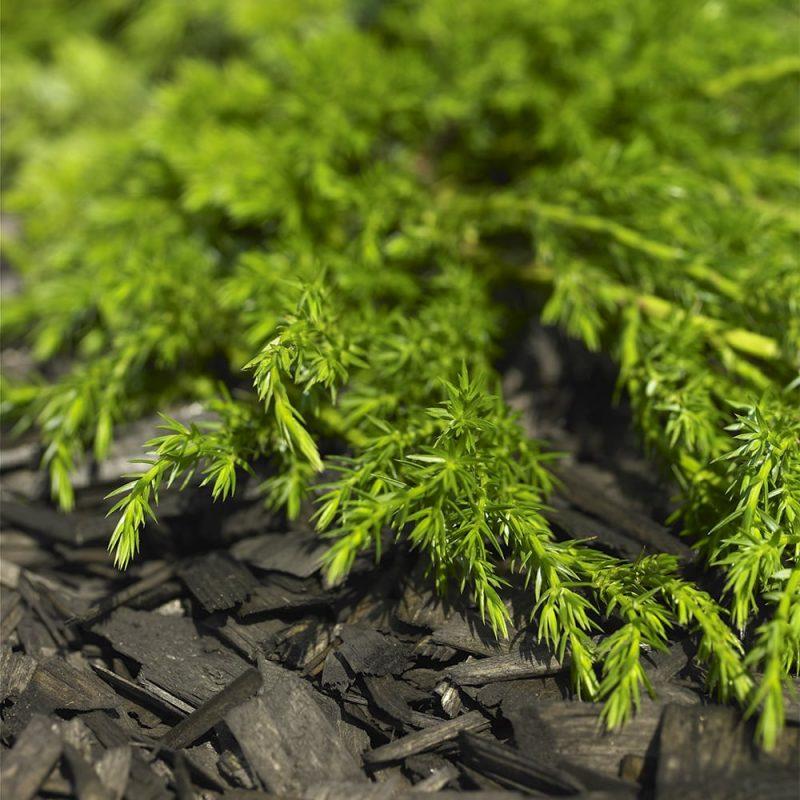 Kääpiökatajan Juniperus communis neulaset