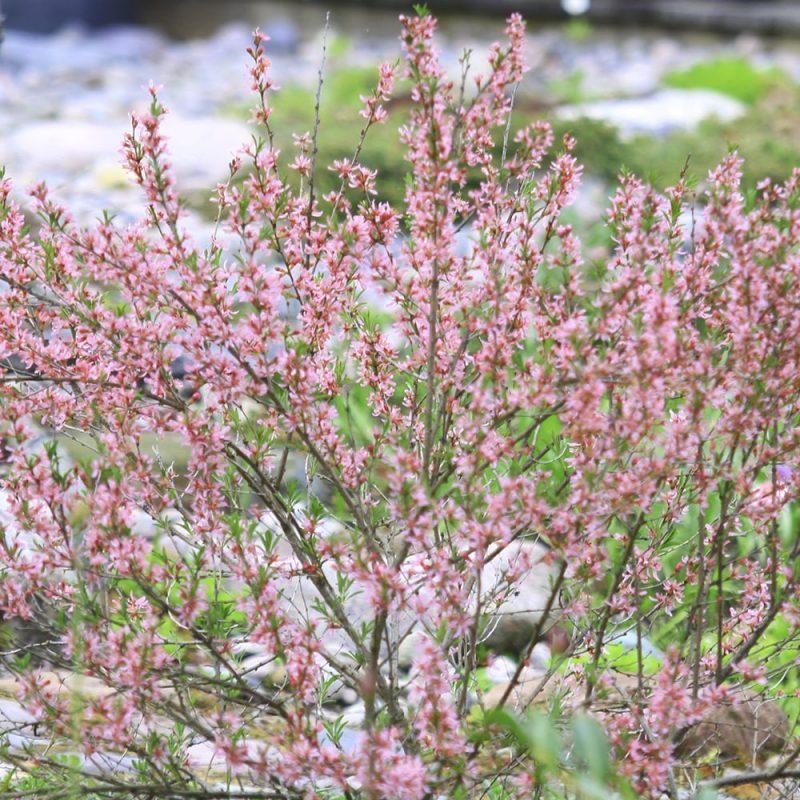 Kääpiömanteli Prunus tenella