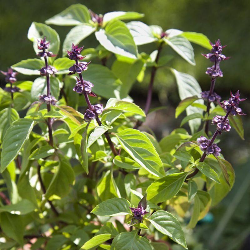 Kanelibasilika Ocimum basilicum 'cinnamon'