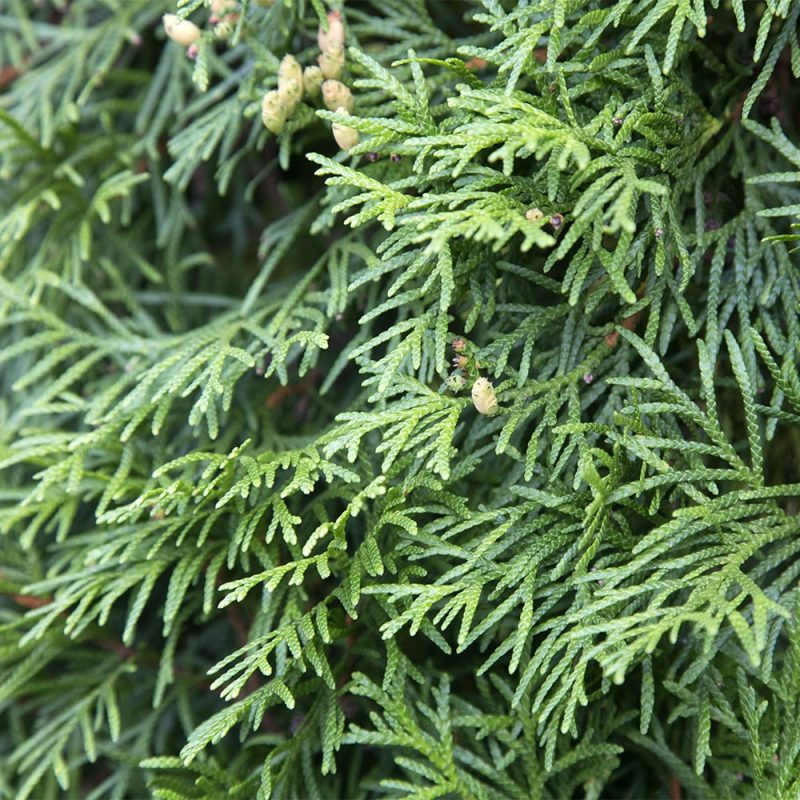 Kartiotuija Thuja occidentalis