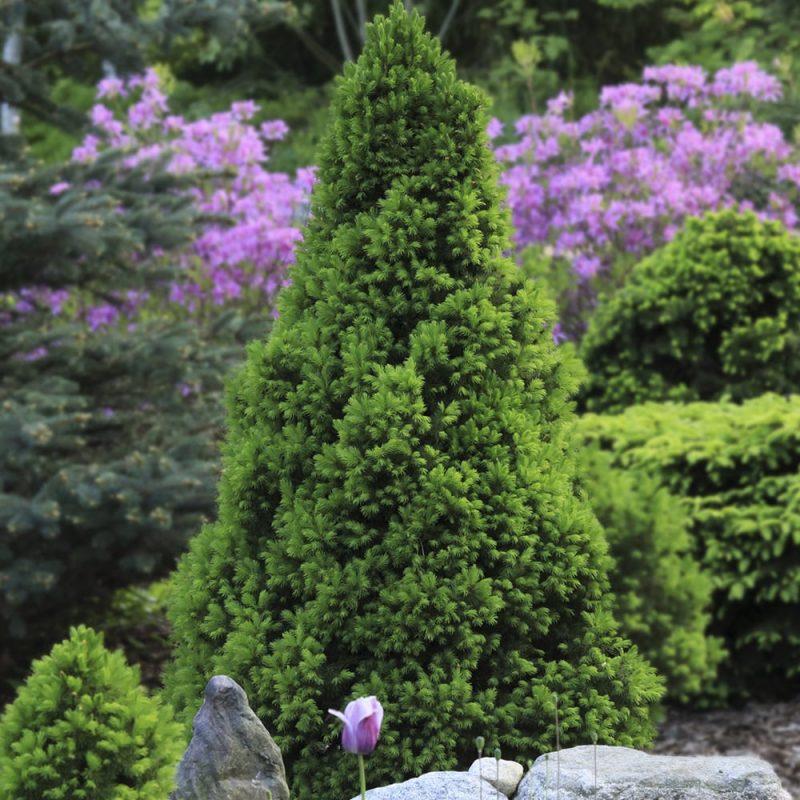 Kartiovalkokuusi Picea glauca