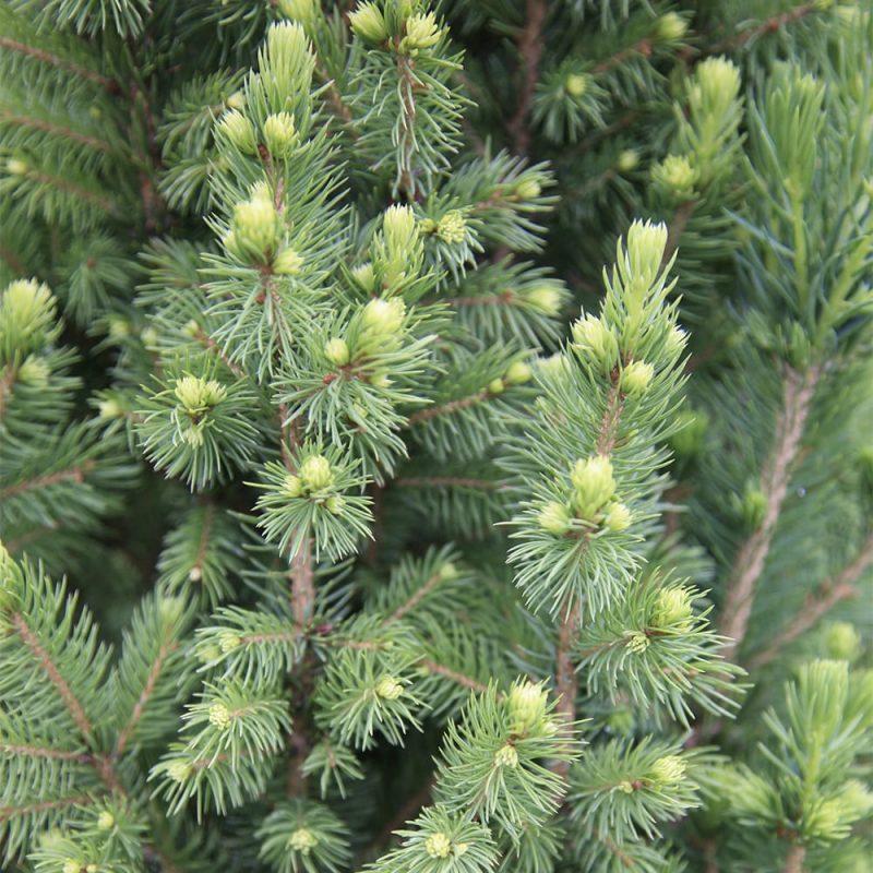 Kartiovalkokuusi_Picea glauca neulaset