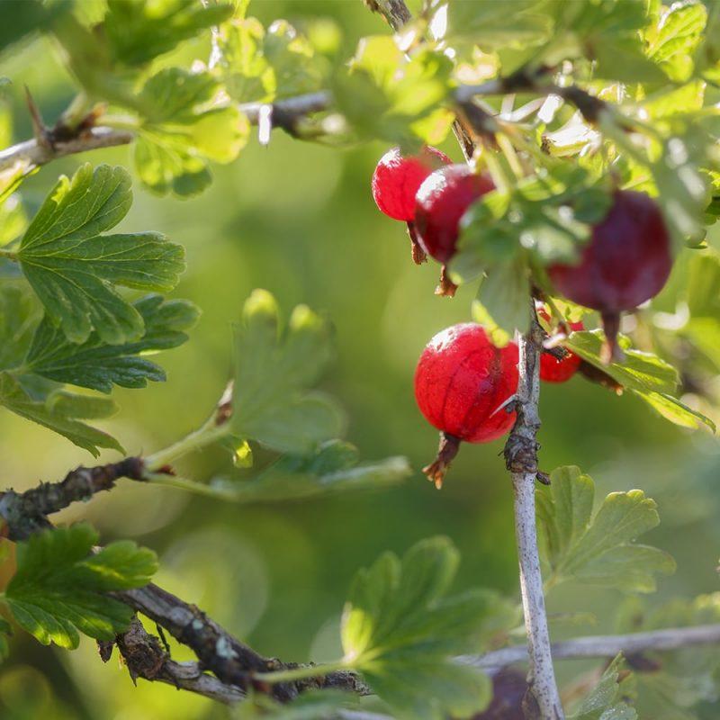 Karviainen Ribes Uva-crispa