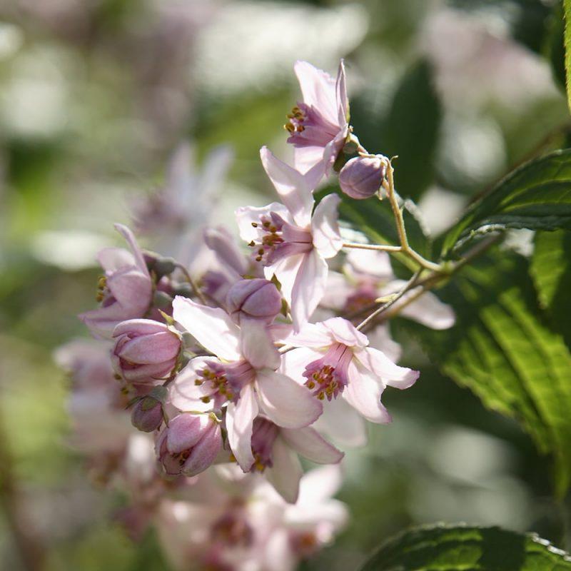 Kellokuusama Kolkwitzia amabilis kukka