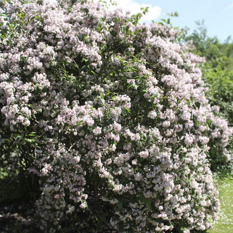 Kellokuusama Kolkwitzia amabilis pensas