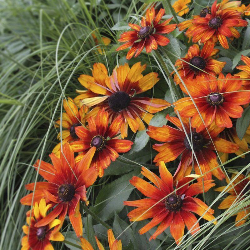 Kesäpäivänhattu Rudbeckia hirta yksinkertainen oranssi kukka
