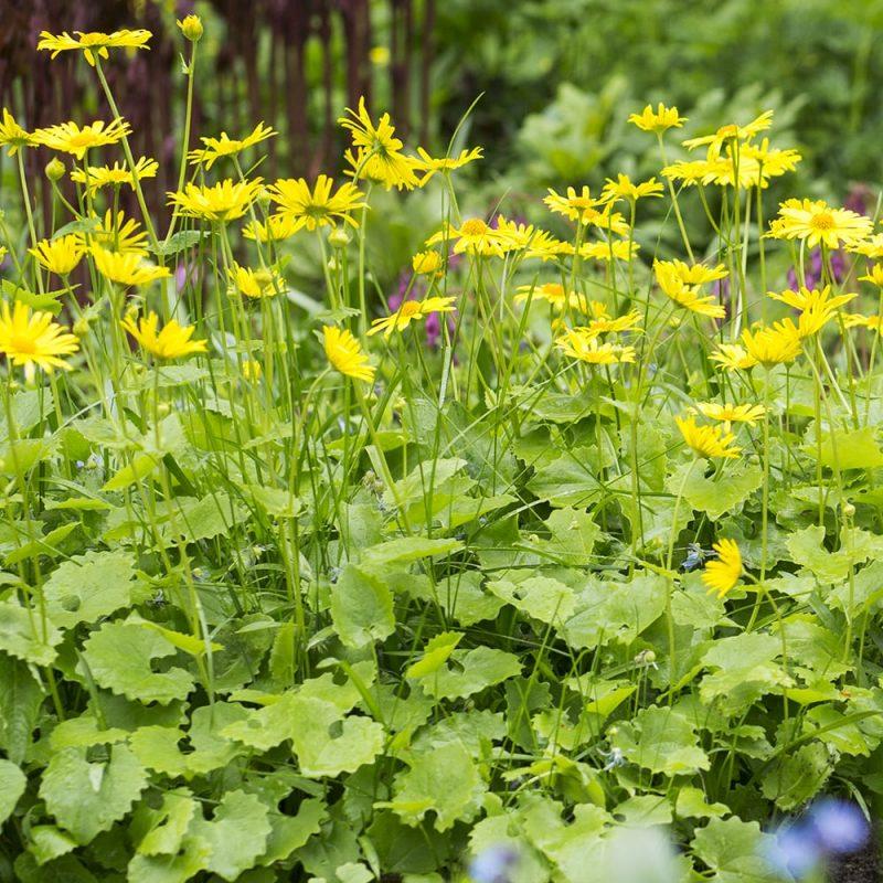 Kevätvuohenjuuri Doronicum orientale