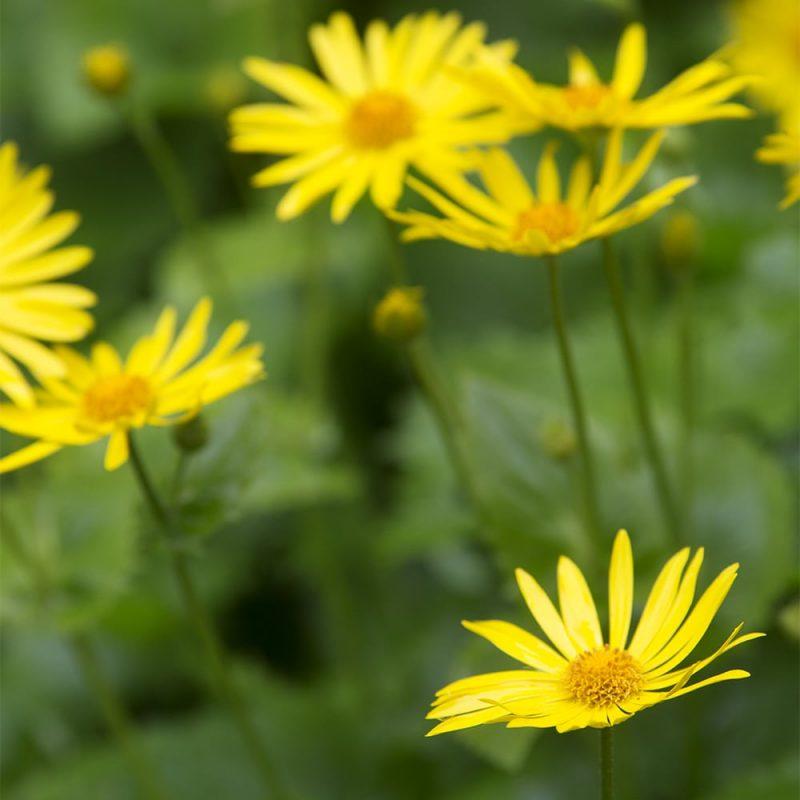 Kevätvuohenjuuren Doronicum orientale kukka
