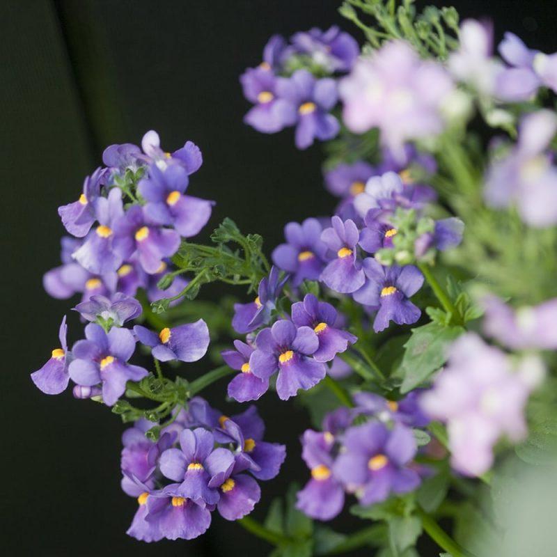Kohtalonkukka Nemesia strumosa, lila