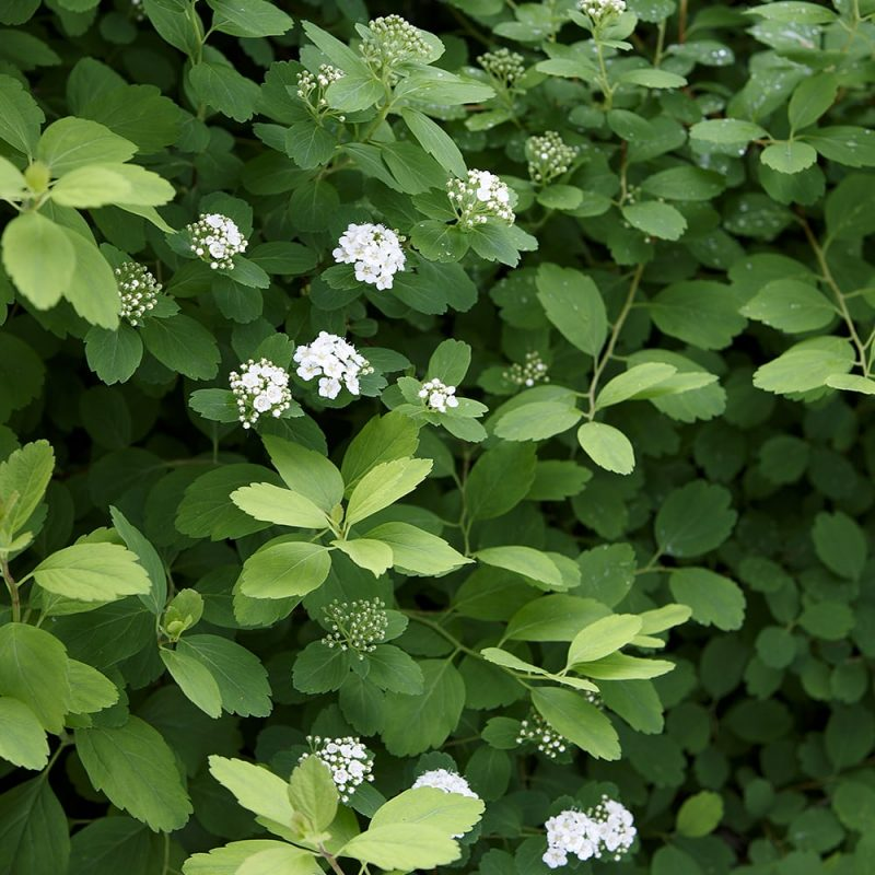 Koivuangervo Spiraea betulifolia