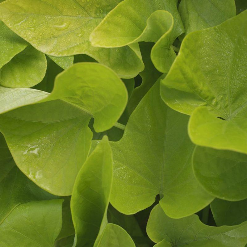 Koristebataatin Ipomoea batata limenvihreät lehdet