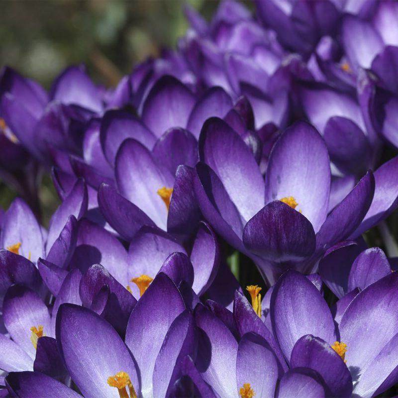 Krookuksen Crocus sp. sini-lilat kukat