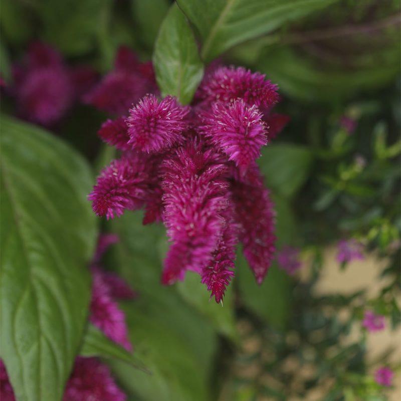 Kukontöyhtön Celosia argentea kukka