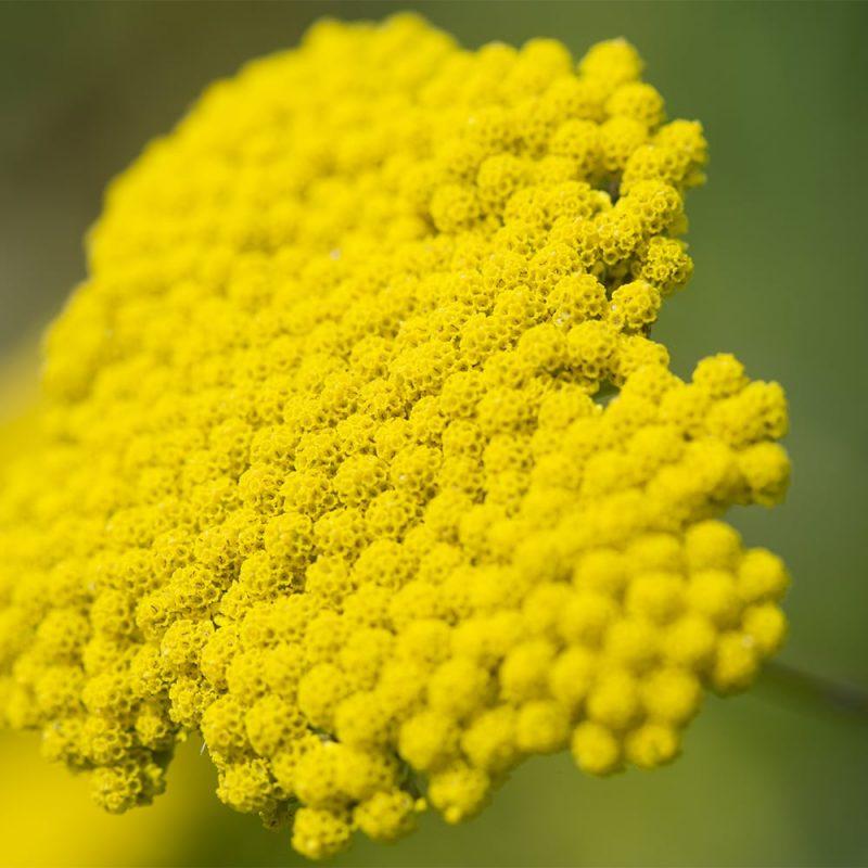 Kultakärsämön Achillea filipendulina kukka
