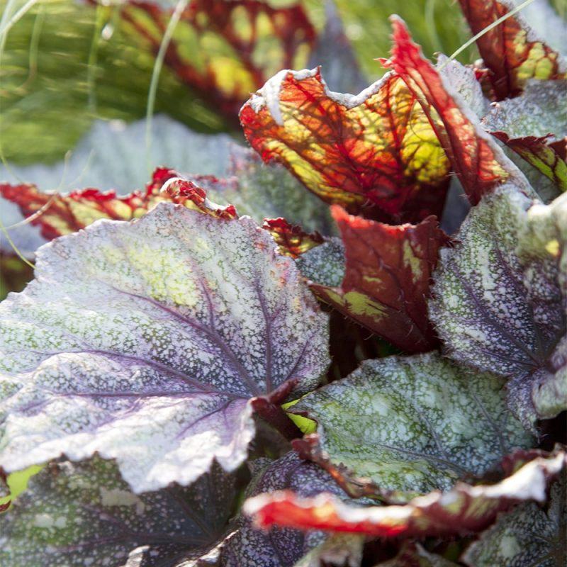 Kuningasbegonia Begonia Rex lehti