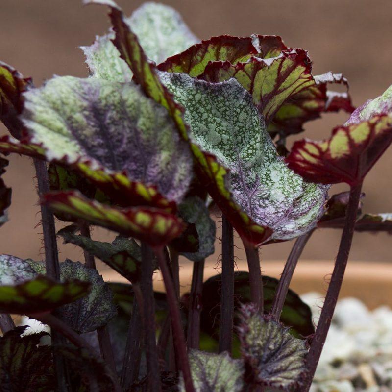 Kuningasbegonia Begonia Rex