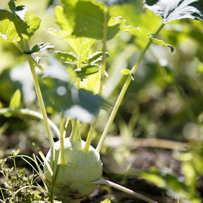 Kyssäkaali Brassica oleracea var. gongylodes